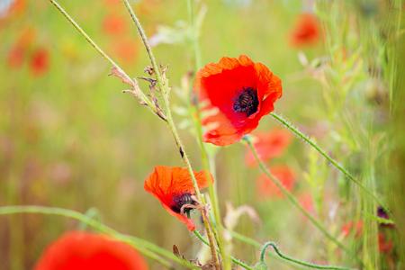 tender tenderness: Tender shot of red poppies on the field