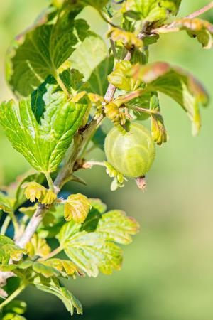 gooseberries: Green gooseberries on a branch blurred background