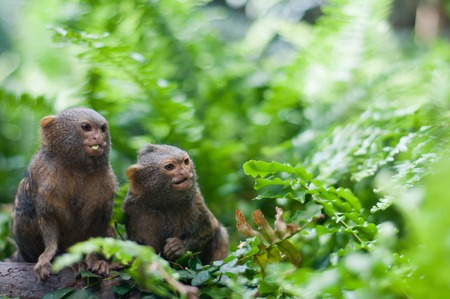 Pair of pygmy monkeys Stock Photo
