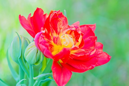 Beautiful red macro tulip over green background