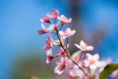 Pink flowers on the bush over blurred blue background. Standard-Bild