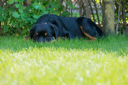 Rottweiler laying down