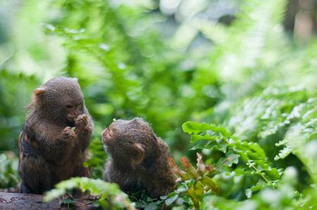 Pair of pygmy monkeys sitting in green grass.