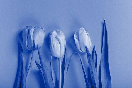 Three tulips. Blue toned. Standard-Bild - 134851894