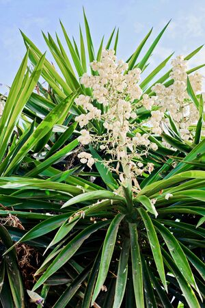 Yucca plant. White exotic flowers with long green leaves