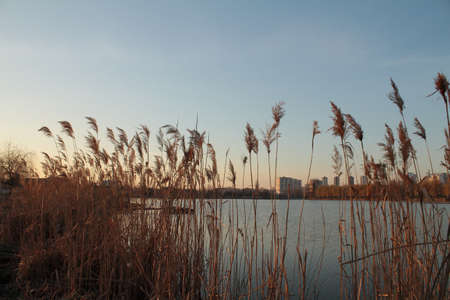 Lake reeds in urban area