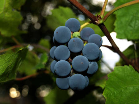 bunch up: Bunch of grapes close up