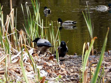 predatory: Predatory crows ready to hunting for ducks at the lake