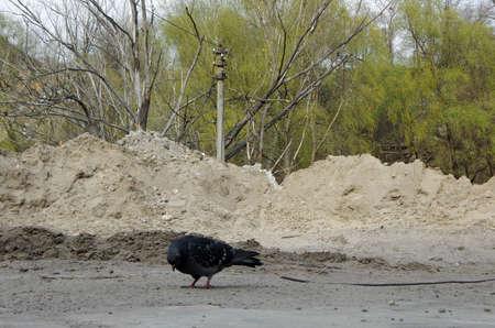 volteo: Paloma en el basurero de la ciudad