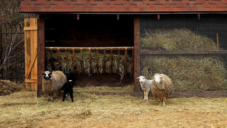 near: Livestock farm. Sheeps and lambs near manger with hay