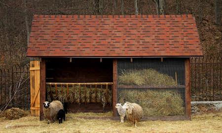 pesebre: Explotación de ganado. Ovejas y corderos cerca pesebre con heno Foto de archivo