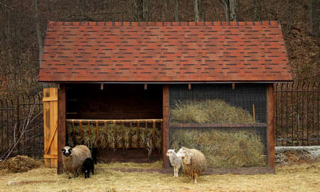 manger: Livestock farm. Sheeps and lambs near manger with hay