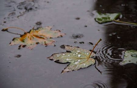 Fallen leaf in puddle with drops and rain circle at autumn