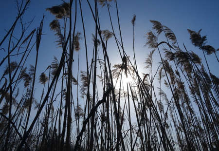 reed stem: Reed grass at the morning under blue sky Stock Photo