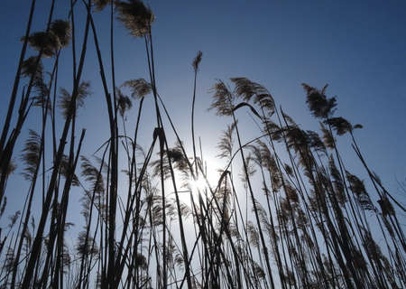 Thatching grass. Reed plants against sunrise stock photo