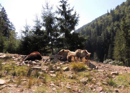 Bear family in their natural habitat