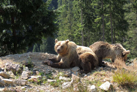 Brown bear female with bear child
