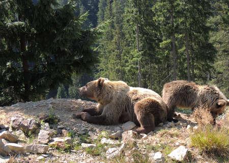 Female brown bear and cub