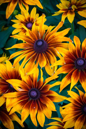 coneflowers: Beautiful Black-eyed Coneflowers in Full Bloom Stock Photo