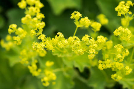 alchemilla vulgaris: Lady s Mantle Close-Up Stock Photo