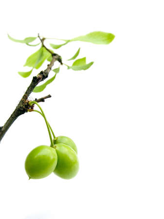 Branch of a plam tree with green fruits and leaves