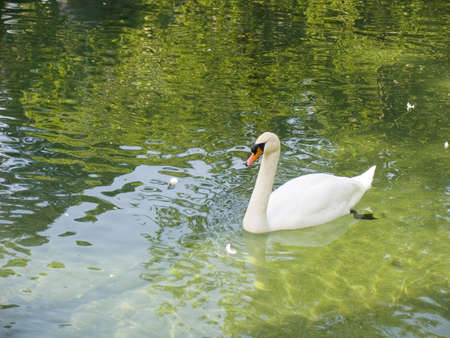 mirror on the water: The white swan floats in lake with mirror water
