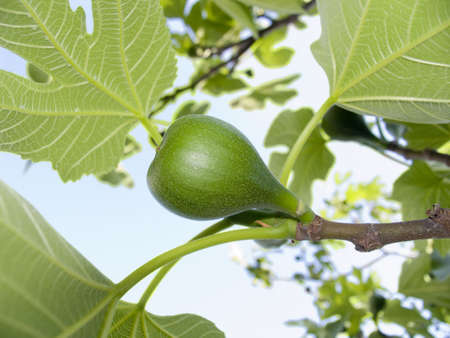 fig on a branch with sky behind Stock Photo