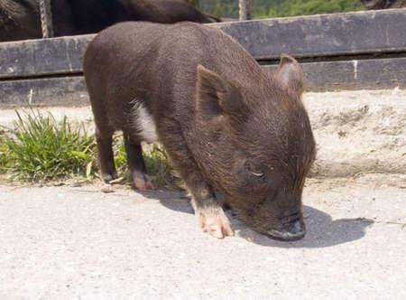 grunter: Small a pig a symbol of 2007