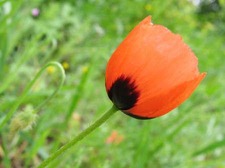 Spring flower a poppy Stock Photo - 594872