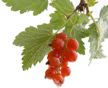 red currant on white