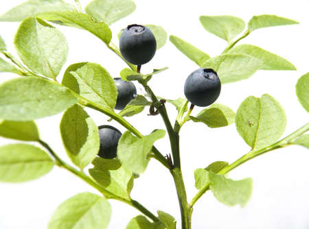 Bilberry on light