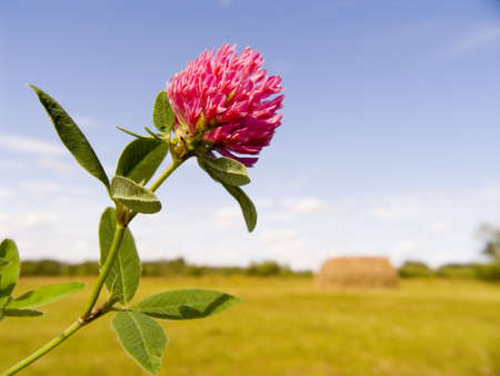 Flower clover close up Stock Photo