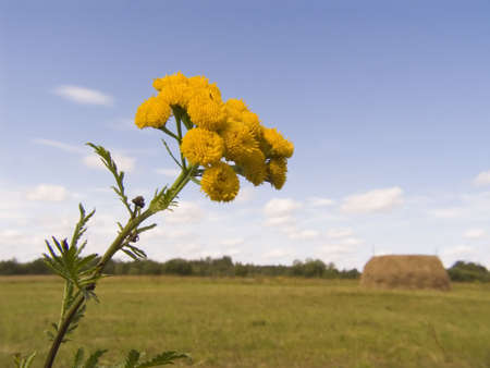 Yellow flower of a tansy on a background of a meadow and the sky Stock Photo - 605280