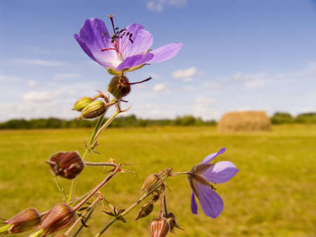 Field violet flowers on a background of a field with a haystack Stock Photo - 605268