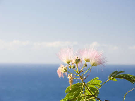 Flower of a pink acacia on a background of a sea landscape Stock Photo - 643496
