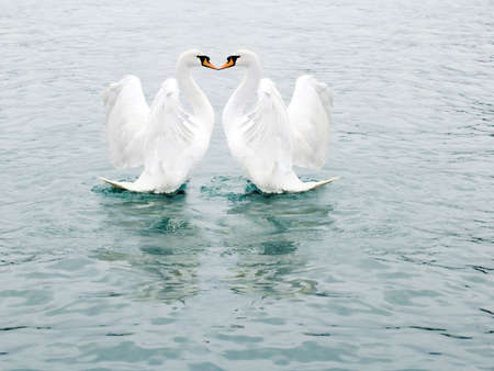 Two fine white swans float in the sea