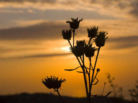 equipoise: Dry flowers on a background of sunrise and the fiery sky Stock Photo