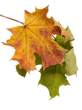 Multi-coloured autumn leaves on a white background