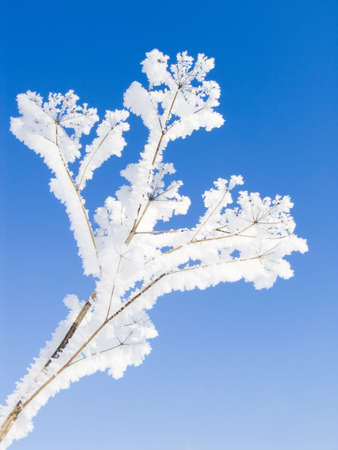 Branch of a tree in hoarfrost on a background of the blue sky