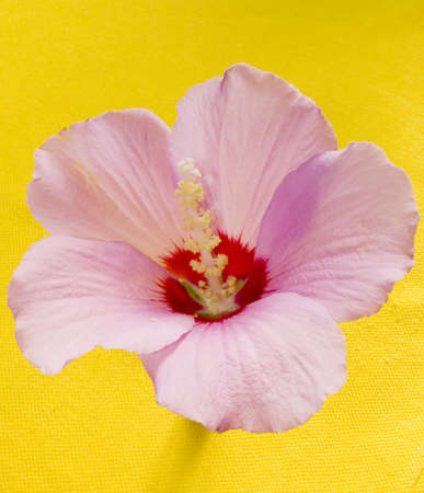 Pink flower mallow on a yellow background Stock Photo - 768776