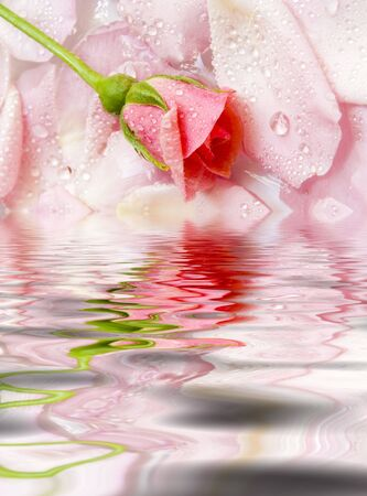 The flower of a rose lays on petals floating in water. Reflection in water