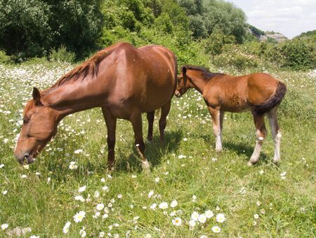 The horse and foal eat a grass on a pasture Stockfoto