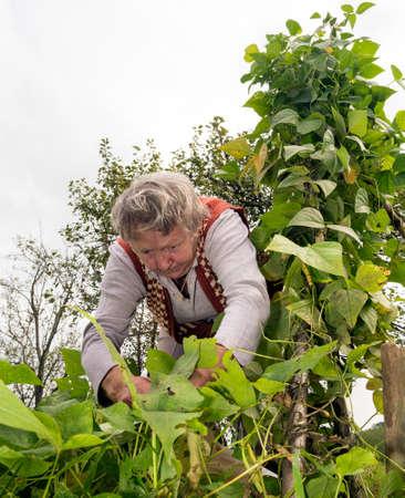 food inspection: Senior woman harvesting green beans in her garden