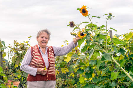 organic farming: Senior woman holding a sunflower plant in front of a vineyard Stock Photo