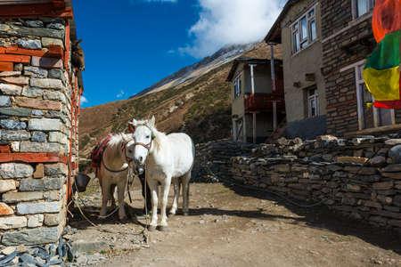 sherpa: Pair of white mountain horses. Animals ready to carry weary trekkers along Annapurna trek. Stock Photo
