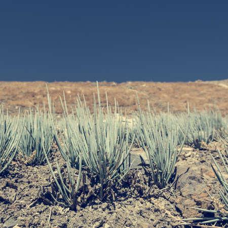 plantas del desierto: Las plantas del desierto que crece en tierras baldías áridas. caminata circuito de Annapurna en Nepal.