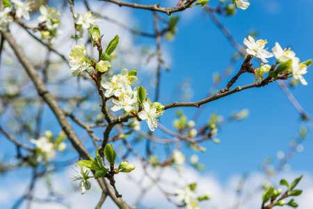 Closeup of cherry blossoms.