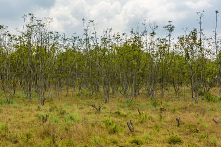 Typical savanna landscape of woodland grassland and red soil. Stock Photo