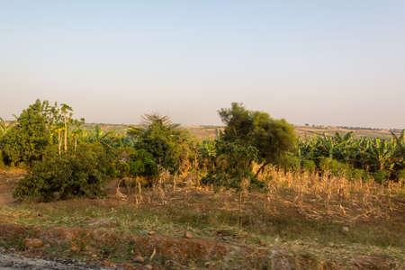 Picking harvest of corn in savannah countryside during dry season.