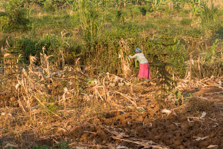 Picking harvest of corn in savannah countryside during dry season.